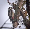 Great spotted woodpecker (50729460332).jpg