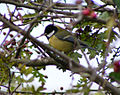 Great tit in hedge.jpg