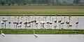 Greater Flamingoes (Phoenicopterus roseus) W IMG 9878.jpg