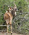 Greater Kudu (Tragelaphus strepsiceros) male (33050134425).jpg