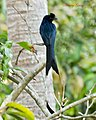 Greater Racket Tailed Drongo (6832861338).jpg