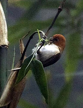 Greater Rufous-headed Parrotbill - Eaglenest Wildlife Sanctuary - Arunachal Pradesh, India.jpg