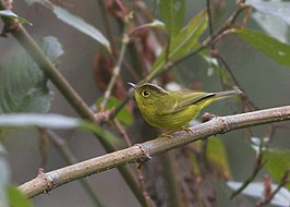 Green-crowned Warbler Neora Valley National Park West Bengal India 01.05.2016.jpg