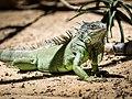Green Iguana (19012482314).jpg