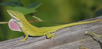 Amphibia in the 10th edition of Systema Naturae - The Carolina anole was named Lacerta principalis in 1758.