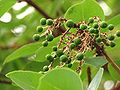 Green pea like berry growth on tree branch.jpg