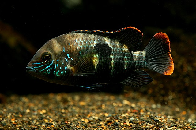 File green terror andinoacara rivulatus for Fish compatible with angelfish