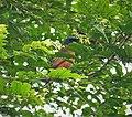 Grey-headed Cicadabird. Edolisoma schisticeps (48749894146).jpg