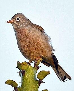 Grey-necked bunting species of bird