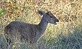 Grey Brocket Deer (Mazama gouazoubira) male.jpg