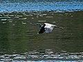 Grey Heron (Ardea cinerea) (22618842469).jpg
