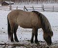 Grey dun icelandic horse-crop.jpg