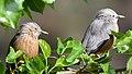 Grey headed Starling pair Mulberry Himachal D72 14753nx.jpg