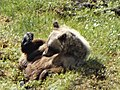 Grizzly Bear after Caribou Kill - Below Wright Pass - Dempster Highway - Northwest Territories - Canada.jpg
