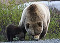 Grizzly and Cub (00492077-9ec7-4389-bb72-11a52f178b4b).jpg