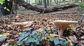 Gronsveld-paddenstoelen in het Savelsbos (3).jpg
