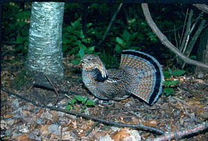 Ruffed grouse - Displaying male