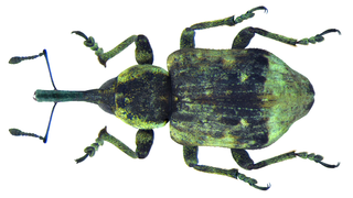 <i>Grypus equiseti</i> species of insect