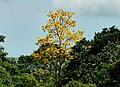 Guayacán amarillo (Tabebuia chrysantha) (14556777449).jpg