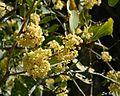 Gymnosporia senegalensis00.jpg