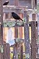 HFF Blackbird - Flickr - ~jar().jpg