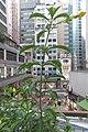 HK 上環 Sheung Wan 水坑口街 Possession Street Footbridge green plants n flowers yellow 夾竹桃葉黃蟬 Allamanda schottii Sept 2017 IX1 01.jpg