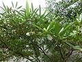 HK Admiralty Tamar Park s Amphitheatre trees 水石榕 Elaeocarpus hainanensis May-2013 Flower.JPG