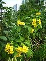 HK Kwun Tong 麗港公園 Laguna Park Yellow flowers.JPG