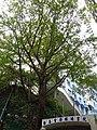 HK Sheung Wan New Street banyan tree 樂善堂梁銶琚書院 Lok Sin Tong Leung Kau Kui College Dec-2015 DSC 002.JPG