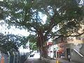 HK Tin Hau 金龍道 Dragon Road 榕樹 Banyan tree crown July-2012.jpg