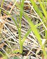 Habenaria radiata leaves.JPG