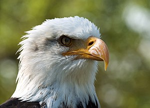 Nictitating membrane - The nictitating membrane (mid-blink) of a bald eagle