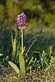 Hall käpp (Orchis militaris) - Keila looniit.jpg