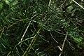 Halocarpus kirkii kz8.jpg