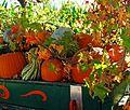 Harvest Time 10-16 (29566307973).jpg