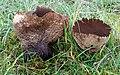 Hasen-Stäubling Lycoperdon utriforme.JPG