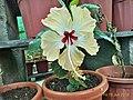 Hawai hibiscus.jpg