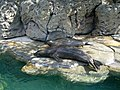 Hawaiian monk seal02.JPG