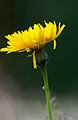 Hawkweed flower, Pentwyn Farm, Penallt.jpg