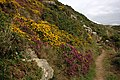 Heather and Gorse by the Coast Path - geograph.org.uk - 1475051.jpg