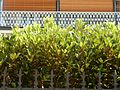 Hedge in Layers (33313578510).jpg