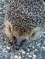 Hedgehog Gnesta 01.jpg