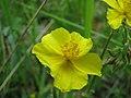 Helianthemum nummularium inflorescence (08).jpg