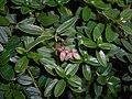 Helianthemum nummularium subsp. tomentosum 2017-09-26 4903.jpg