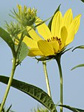 Helianthus grosseserratus SAWTOOTH SUNFLOWER (3333949994).jpg
