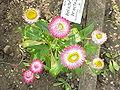 Helichrysum bracteatum6.jpg
