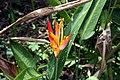 Heliconia psittacorum 19zz.jpg