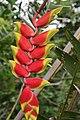 Heliconia rostrata 29zz.jpg