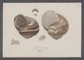 Helix pomatia - - Print - Iconographia Zoologica - Special Collections University of Amsterdam - UBAINV0274 089 01 0012.tif