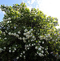 Hellmans Cross, Great Canfield, Essex, England - Green St viburnum opulus sterilis.JPG